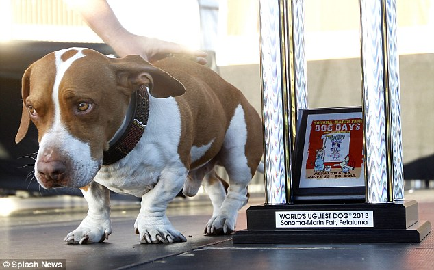 Winner: Walle, winner of the World's Ugliest Dog competition in Petaluma, California. Walle, who is part Basset, part Boxer and part Beagle, won the popular competition along with his owner Tammie Barbee.